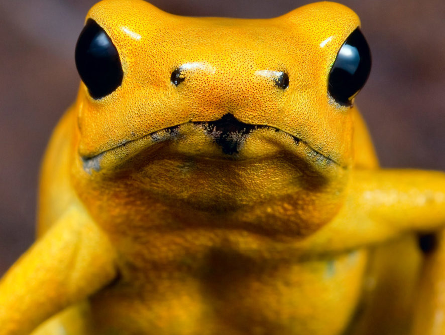 Poison dart frog, Phyllobates terribilis, territorial fight for dominance.
