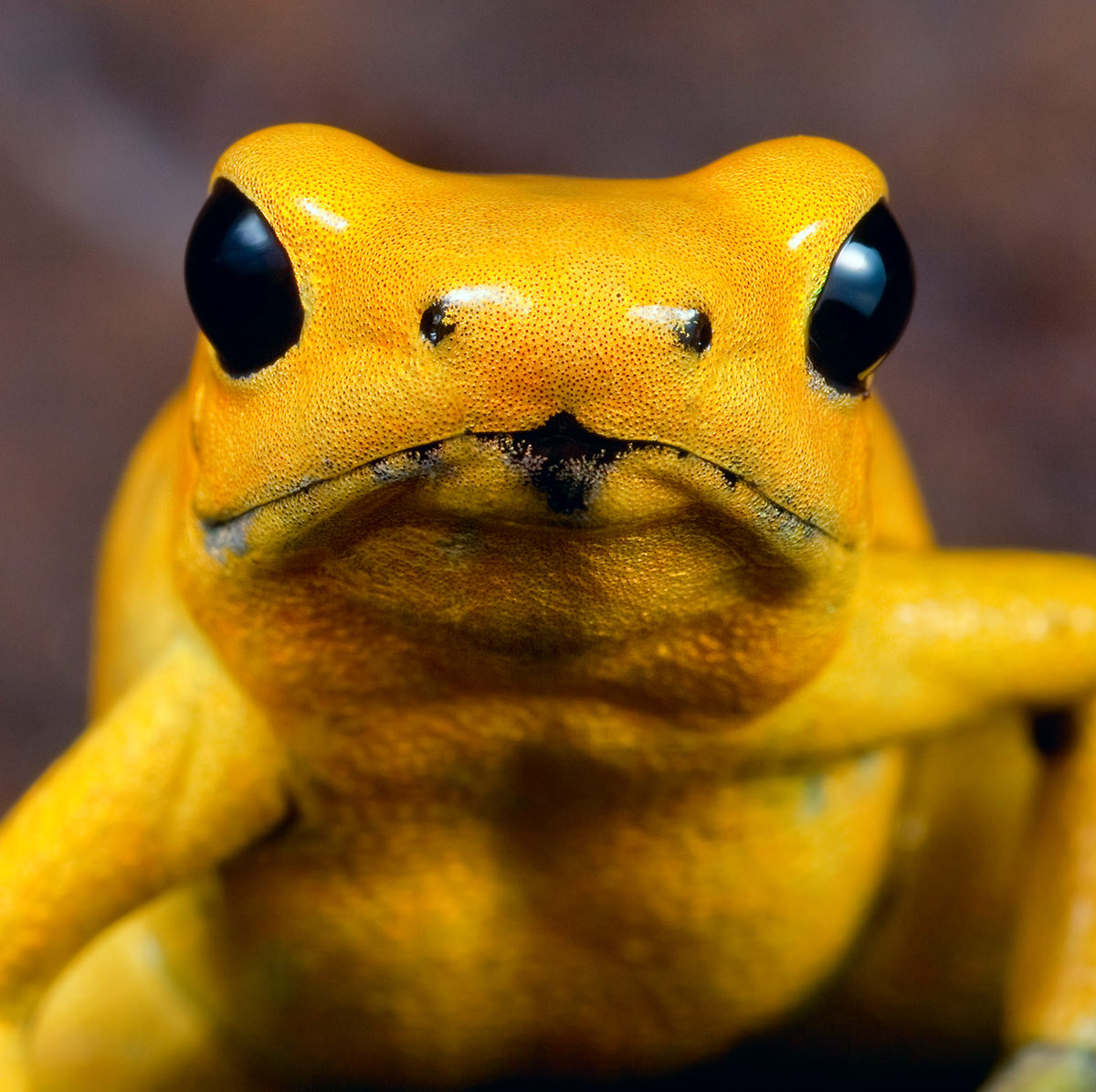 Poison dart frog portrait of phyllobates terribilis OF the amazon rainforest in Colombia, very toxic and poisonous animal,big black amphibian eyes and bright yellow color